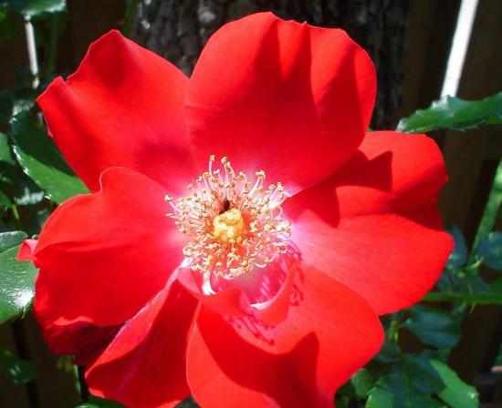 цветение розы Дортмунд