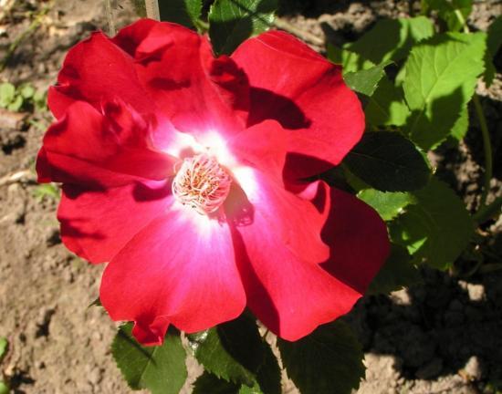 роза Дортмунд