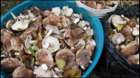 сбор грибов рядовок