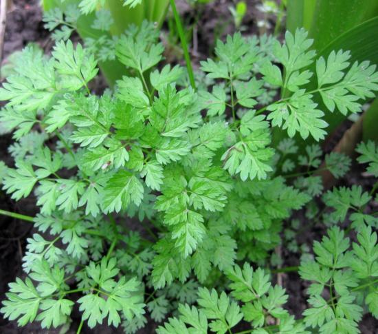 Кервель - трава, похожая на петрушку