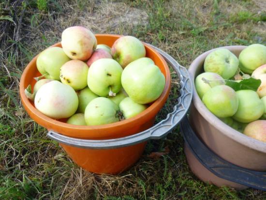 сорта яблок для повидла