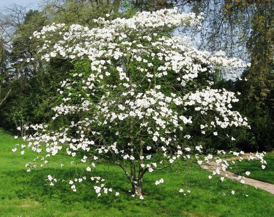 цветение кизила