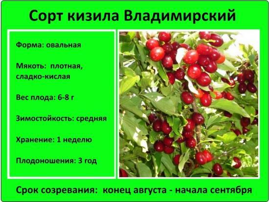 кизил сорт владимировский