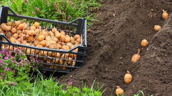 на какую глубину сажать картофель