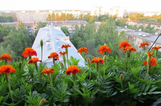 бархатцы как декоративные растения