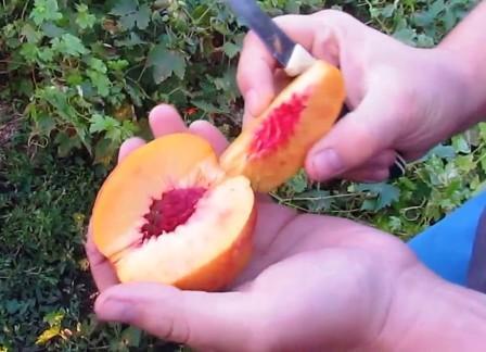 фантазия сорт нектарина
