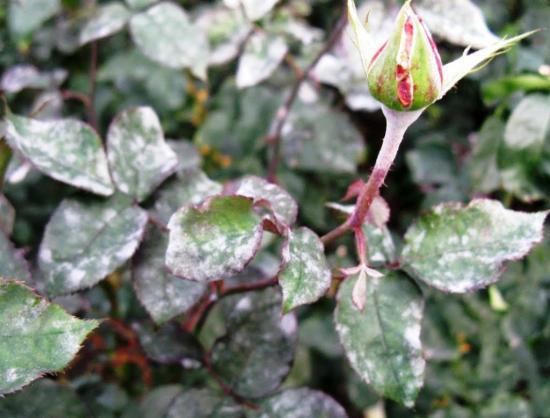 обработка роз от мучнистой росы