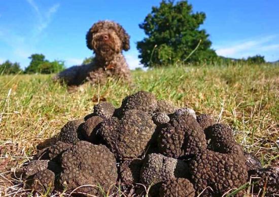 собаки быстро находят где растет трюфель
