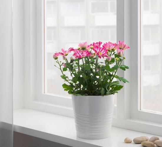 зимовк горшечной хризантемы