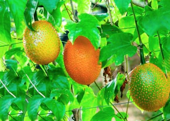момордика плоды