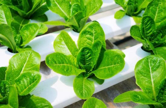 выращивание салата зимой