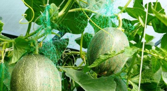 выращивание дынь в теплице