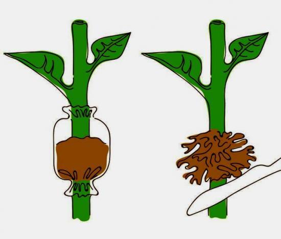размножение растений воздушными отводками