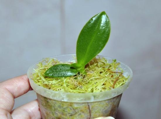 размножение орхидеи в пластиковой бутылке