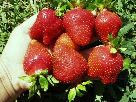вкусовые качества ягод клубники монтерей