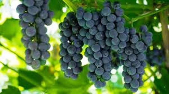 виноград альфа как используется