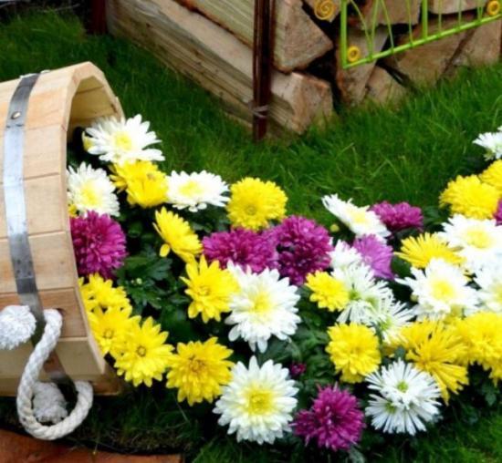 цветущиехризантемы, сорта и виды