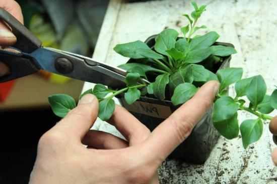 прищипывание петунии, формирование растения