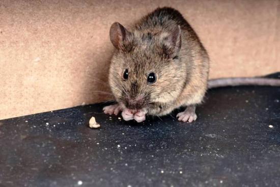 Все ли мыши заразны