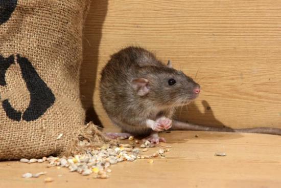 Переносят ли мыши бешенство