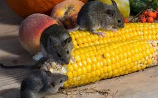 Чем можно заразиться от мышиного помета