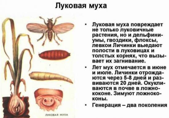 что такое луковоая муха