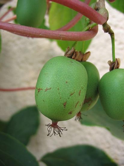 Плодовые кустарники: актинидия вейки, боярышник и другие виды