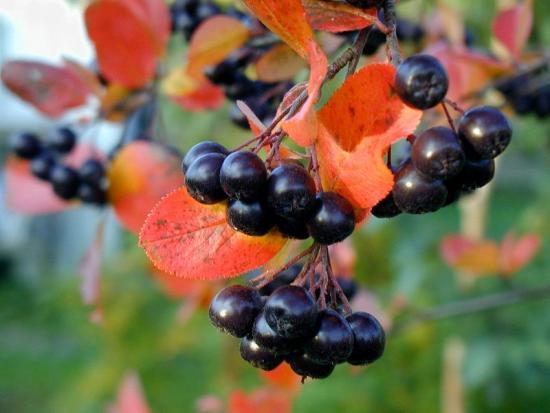 черноплодная рябина ягоды