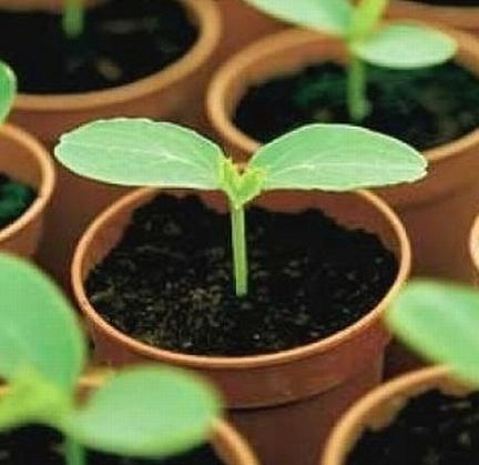 Как посадить огурцы на рассаду? Легко!