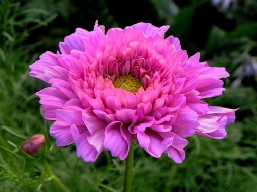 Космея махровая: выращивание из семян, когда можно сажать ...