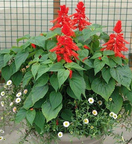выращивание сальвии из семян