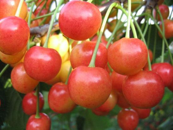 Плоды брянской розовой черешни