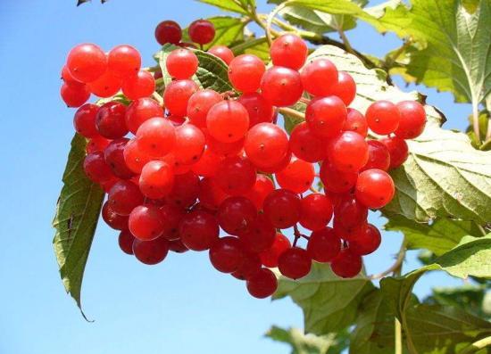 Полезные свойства ягоды калины