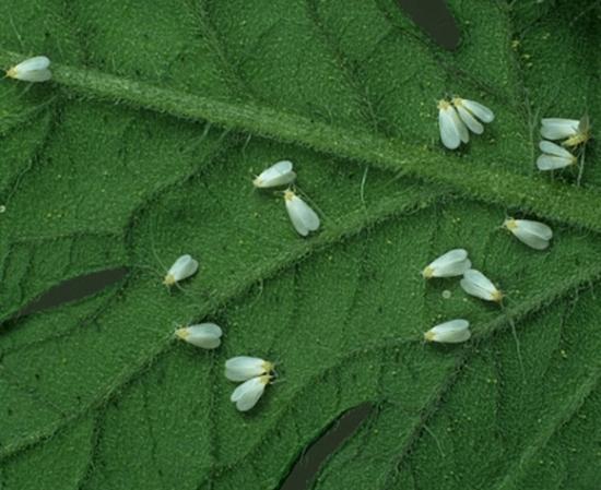 Защита рассады перца от вредителей