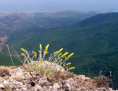 Лимонник крымский: выращивание в домашних условиях