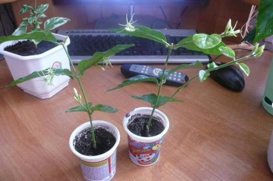 Как вырастить жасмин полиантовый