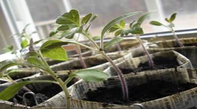 фиолетовый стебель у рассады помидор