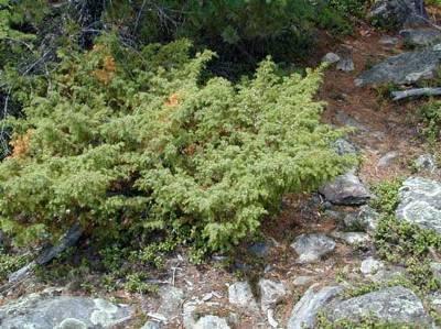 сибирский можжевельник в природе