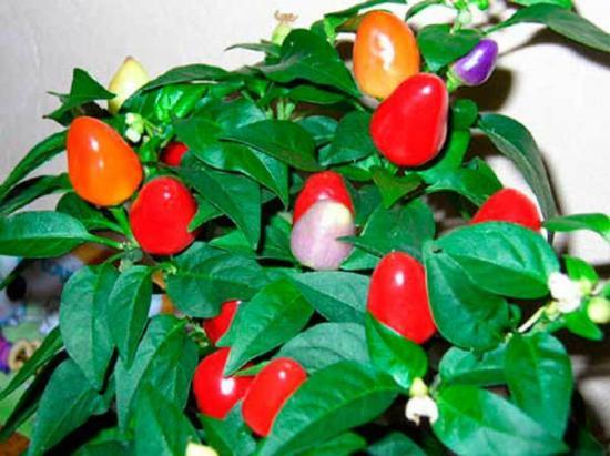 Домашний уход за рассадой перца