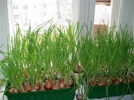 Выращивание лука в северных регионах 47