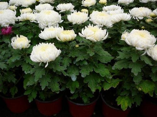 Уход за комнатной хризантемой и ее особенности