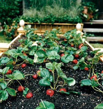 Грядки для клубники и особенности её выращивания