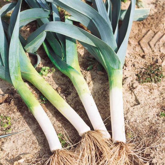 Лук порей – особенности выращивания