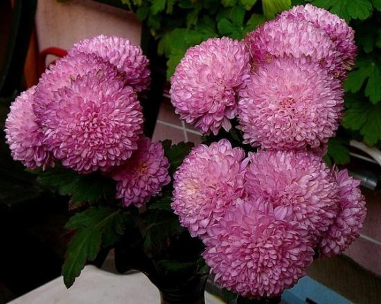 Как сохранить срезанные хризантемы?