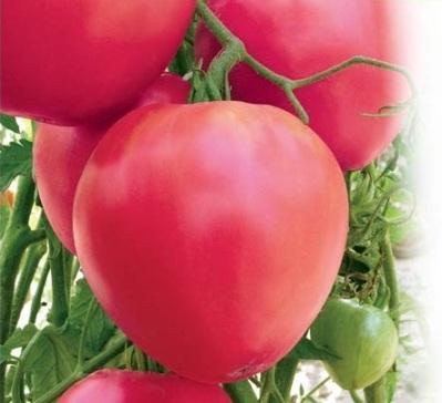 Сорта томатов для Сибири