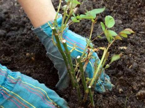 Выращивание карликовых роз в открытом грунте 73