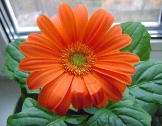 Выращивание герберы из семян