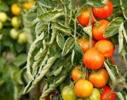 Скручивание листьев у томатов