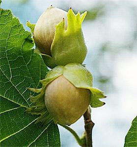 Лещина (фундук) - уход и выращивание