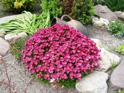 Выращивание камнеломки из семян